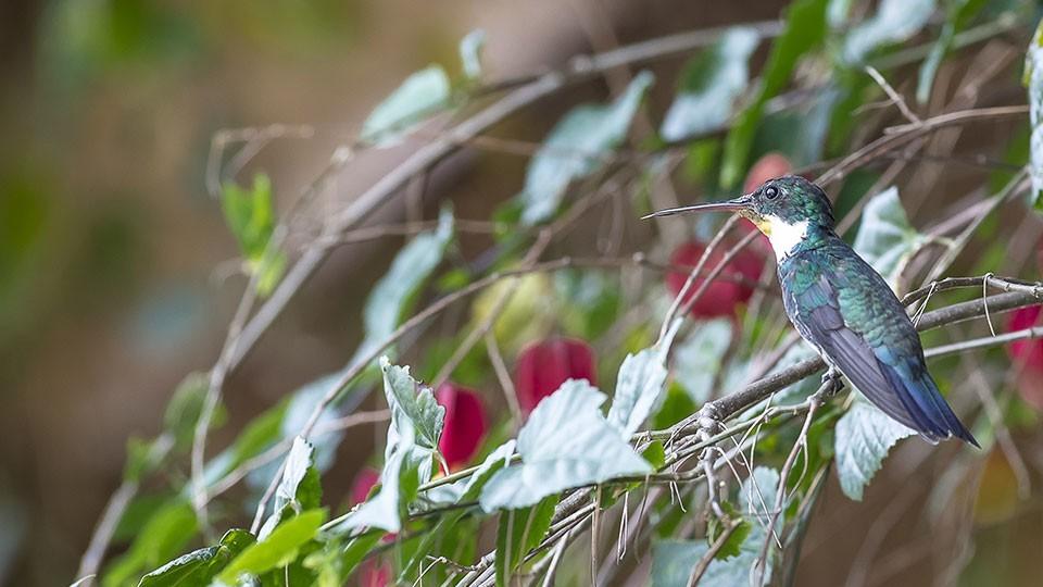 Beija-flor na Pousada Serra Vista em Gonçalves MG. Foto: Miro Martins.
