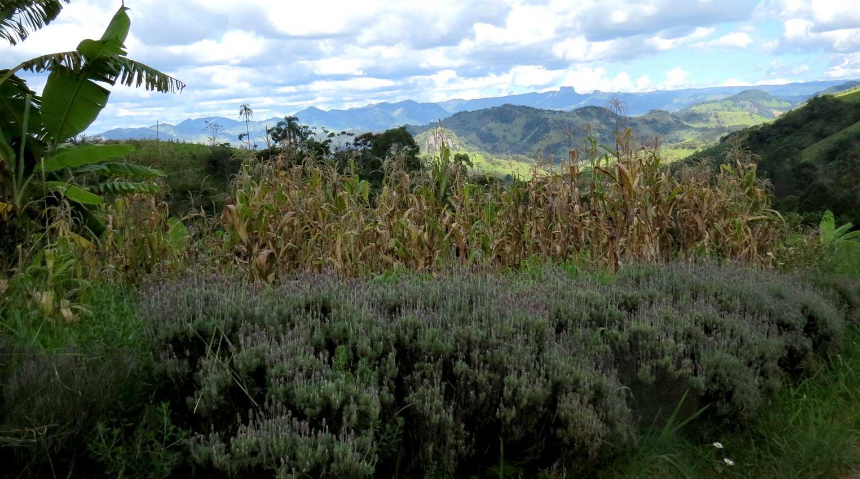 Milhos plantados com sementes crioulas - Foto: Amandina Morbeck.